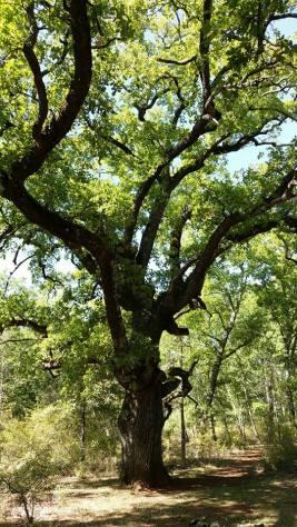 Vieux chênes Montauroux
